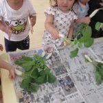 大根の収穫画像
